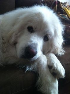 great pyrenees --> The dog I want to get once I am out on my own!