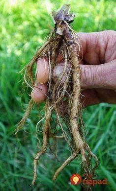 Som veľmi vďačná pani z našej dediny, ktorá mi toto poradila. Organic Seeds, Organic Plants, Apple Pear, Nordic Interior, 1000 Calories, Herbal Medicine, Organic Beauty, Plant Hanger, Human Body