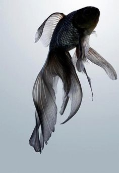 Black Moor Fish.  Very Beautiful!!!  I DO NOT LIKE the way they breed Black Moors with huge eyes!!!  I think that is very cruel, subtle eyes is beautiful!!!...