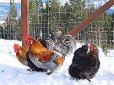 Swedish Hedemora Chicken - Google Search