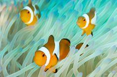 """Peixes-palhaço nadam na Indonésia. A espécie se protege ao se esconder entre os tentáculos das anêmonas, como no filme """"Procurando Nemo"""""""