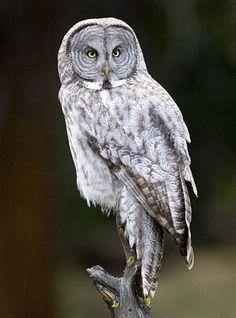a great gray owl Owl Bird, Pet Birds, Strix Nebulosa, Tawny Owl, Great Grey Owl, Power Animal, Owl Pictures, Beautiful Owl, Gray Owl
