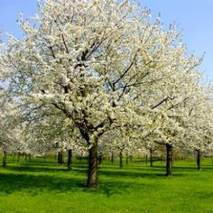 Flowering peach and pear trees- one of my favorite things about spring time in the South.