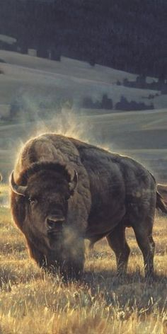 Chilly Morning, Steam Rays Rising From a Buffalo's Back.