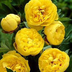 Yellow Peonies | Tree peonies are considered to be relatively pest free. Ants on peony ...