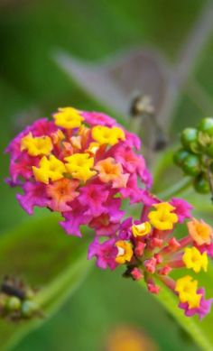 Had one just like this in our old home... it was HUGE - like a tree almost!  Lantana