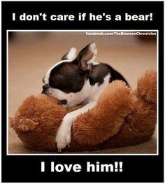 Boston Terriers love their bears!