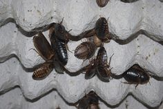 Dubia roaches are a popular feeder bug – In my opinion, one of the best. They have an excellent nutritional value for your insectivore friends, breed easily, are easy to maintain… Just …