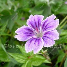 Hot Sale 50 PCS Univalve Geranium Seeds Perennial Flower Seeds Pelargonium