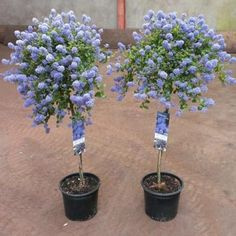 ScotPlants Direct is a local supplier of Ceanothus thyrsiflorus Repens Tree. Shop our range of plants and trees online directly from ScotPlants Direct in Fife, UK Evergreen Trees, Trees And Shrubs, Garden Trees, Garden Plants, Flowering Plants, House Plants, California Lilac, Baumgarten, Garden Paving
