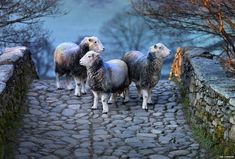 Herdwick sheep on bridge Photographs celebrate Lake District rare breed sheep | BBC