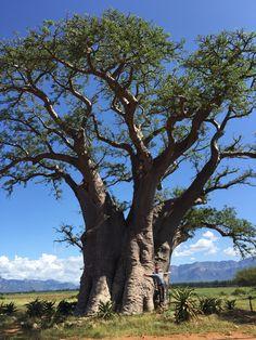 Baobab Tree in Hoedspruit BAOBAB TREE / MADAGASCAR  : More At FOSTERGINGER @ Pinterest