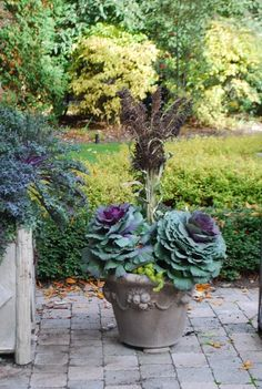 Ornamental cabbages only get better as the night temperatures drop; they color up. They are best planted as a tutu.  Plants with a stiff aspect need some friendly and loose companionship. Thus the lime green angelina which will take on an orange cast in cold weather.