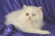 Raza de gatos persa