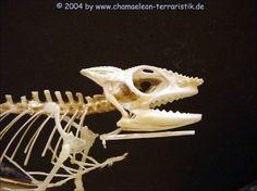 """Zum Imponieren oder Drohen macht sich ein Chamäleon größer. Unter anderem indem es sein Zungenbein nach unten drückt und ein """"Doppelkinn"""" erzeugt."""