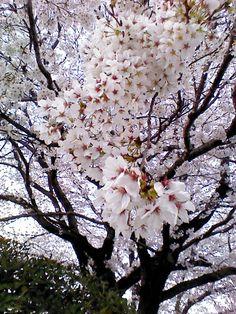 Japanese cherry blossom trees Cherry Blossom Tree, Blossom Trees, Cherry Tree, Beautiful World, Beautiful Gardens, Sakura Sakura, Natural Garden, Mother Nature, Scenery