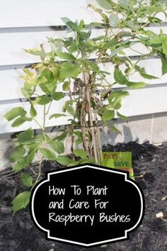 If you have always wanted to plant and grow raspberry bushes, keep reading to learn how. Fruit Garden, Edible Garden, Vegetable Garden, Garden Plants, Flowers Garden, Indoor Plants, Farm Gardens, Outdoor Gardens, Growing Raspberries