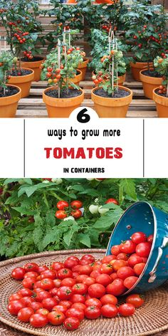 Tomatoes are the perfect crop for small spaces: rewarding, productive and delicious. Few people know more about growing tomatoes in containers than Nick Chenhall, tomato enthusiast and the man behi… Growing Cherry Tomatoes, Growing Tomato Plants, Growing Tomatoes In Containers, Growing Vegetables, Grow Tomatoes, Growing Grapes, Container Gardening Vegetables, Container Plants, Vegetable Gardening