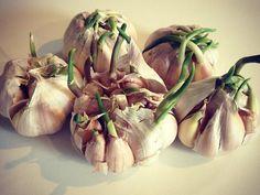 ¡Deja de comprar ajo! nira como puedes cultivar en tu casa - Taringa!