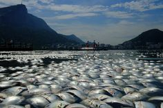 FLOATING DEATH: Dead fish floated in Rodrigo de Freitas lake in Rio de Janeiro Wednesday. The city's environmental authorities said heavy rains washed organic matter into the lake, consuming oxygen in the lake and leading to a big die-off of fish. (Christophe Simon/AFP/Getty Images)