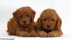 Cute F1b Goldendoodle puppies