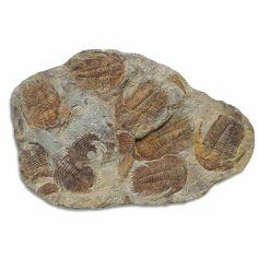Paradoxides Trilobite Plaque