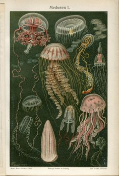 ca 1890 MARINE SEA Jellyfish I Antique Chromolitograph Print C. Merculiano