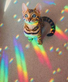 Bengal cat Bengal kitten rainbow iridescent holographic universe Likes, Cute Baby Animals, Animals And Pets, Funny Animals, Cute Kittens, Cats And Kittens, Bengal Kittens, Siamese Cats, Photo Chat, Cat Aesthetic