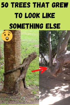 Trees have different shapes. Some of them develop a weird shape due to poor soil. Their growth may be stunted because they're not getting enough nutrients. This commonly happens to trees growing right next to another object.