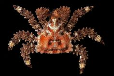 Phyllolithodes papillosus - Google Search