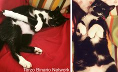 SACILE (PORDENONE): SMARRITO MOMO, GATTO BIANCO E NERO http://www.terzobinarionetwork.com/2015/09/sacile-pordenone-smarrito-momo-gatto.html