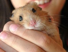 close up photo of a beautiful hamster