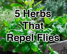 5 Herbs That Repel Flies....Keep these herbs growing in your garden to repel flies...Basil, Bay Leaves, Lavender, Tansy, and Pennyroyal.