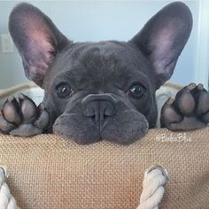 """Whassup?"", Balou Blue, the French Bulldog Puppy, #baloublue on instagram …"