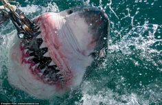 Stephen Frink, a 67-year-old photographer and diver, travelled to South Australia, South Africa and Mexico to capture photos of the world's largest great white sharks