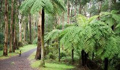 Dandenong Ranges: Victoria's nature haven - Australian Geographic. Photo by Don Fuchs Mountain Ash Tree, Background Images Hd, Yarra Valley, Land Use, Landscape Architecture, Beautiful World, Wonders Of The World, Ranges, Gallery