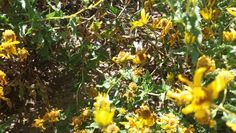 Una abeja entre flores amarillos