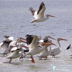 """🌺 sнεү on Instagram: """"🦢 American white Pelicans in the waning light. I could watch them all day. 🍃 _____________________ #corpuschristi #americanwhitepelicans …"""" Flight Feathers, Corpus Christi, Bird, Watch, American, Animals, Instagram, Clock, Animales"""