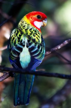 """Eastern Rosella gloriously gorgeously gaudy!! patterns & colours of outrageous beauty!!!"""