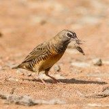 Mozambique Birding - Male Quail Finch. Quail, Beautiful Birds, Animals Planet, World, Wings, Happy, Quails, The World, Feathers