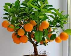 orange tree - Szukaj w Google