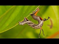 Caterpillar shows off crazy tentacles – but only when you yell at it   wtf   Earth Touch News