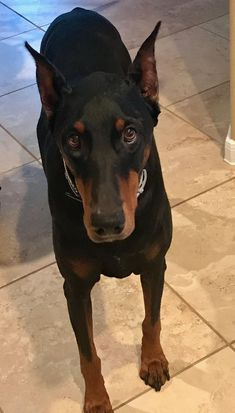 The Doberman Pinscher is among the most popular breed of dogs in the world. Known for its intelligence and loyalty, the Pinscher is both a police- favorite bree Beautiful Dogs, Animals Beautiful, Cute Animals, I Love Dogs, Cute Dogs, Doberman Pinscher Dog, Doberman Love, Dog Photography, Dog Pictures