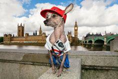 Un chien chinois en costume - 2Tout2Rien