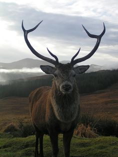 i want that antlers very bad.Magnificent Highland Stag.