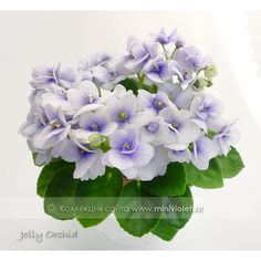 Jolly Orchid
