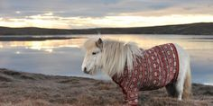 How the heck do you get a pony into a sweater?