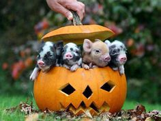 Pigs in a pumpkin. Little pigs! Little pigs! Cute Baby Animals, Animals And Pets, Funny Animals, Animal Memes, Teacup Pigs, Cute Piggies, Baby Pigs, Pet Pigs, Tier Fotos