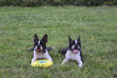 brothers Antony & Alexander Expensive Dogs, Boston Terriers, Puppy Love, Best Dogs, Best Friends, Puppies, Animals, Beautiful, Beat Friends