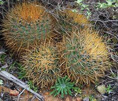 Ferocactus chrysapcanthus with Dudleya